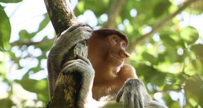 malaysia-bako-national-park-monkey-in-tree-cover