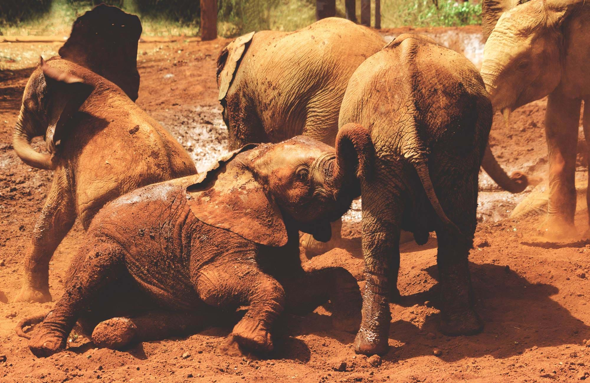 nairobi-kenya-sheldrick-elephant-orphanage-baby-elephants-playing-cover