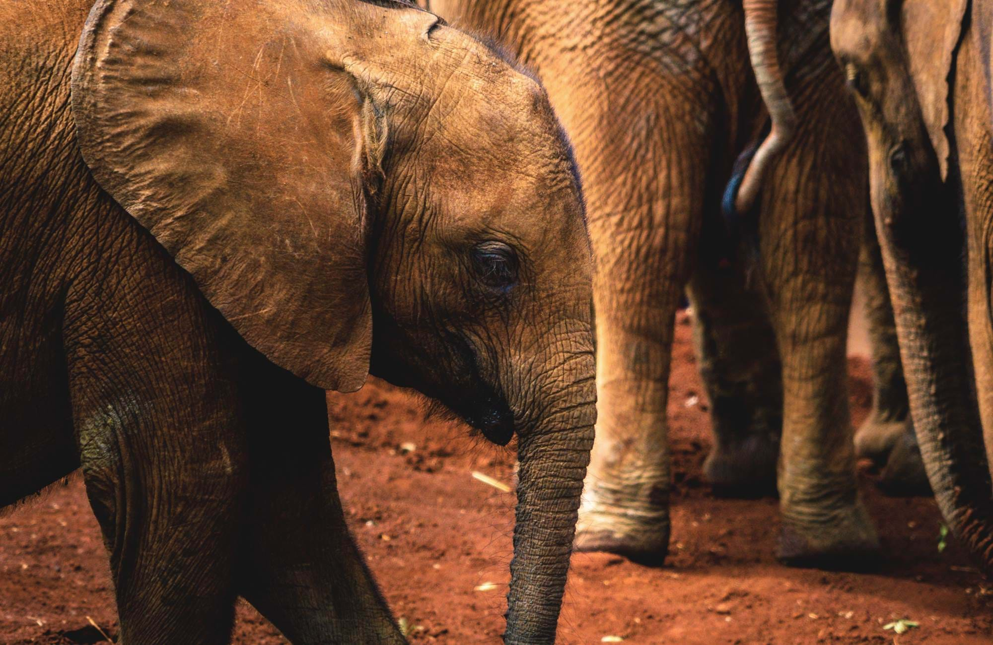 nairobi-kenya-sheldrick-elephant-orphanage-close-up-baby-elephant-cover