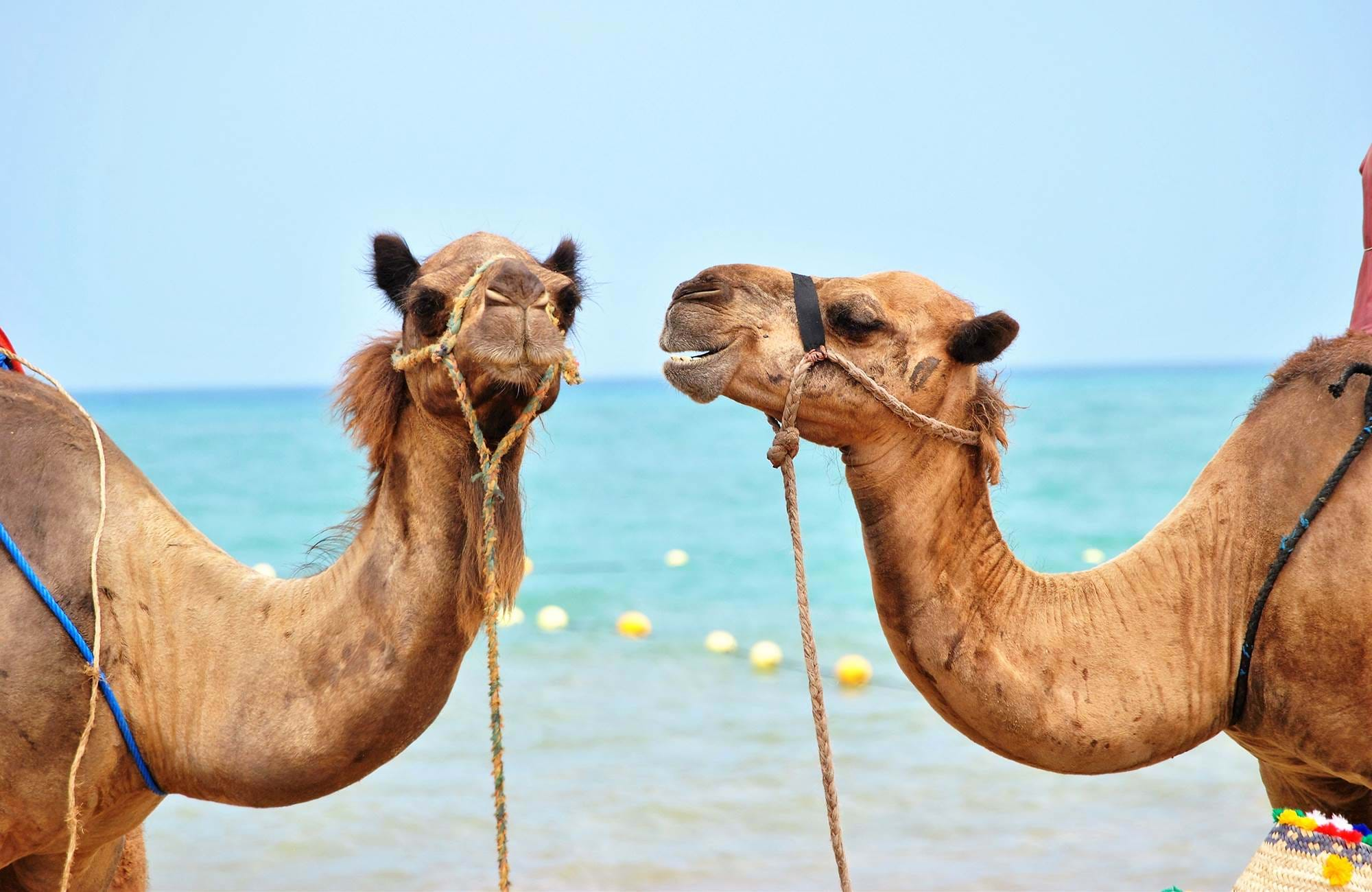 morocco-camels-on-beach-cover