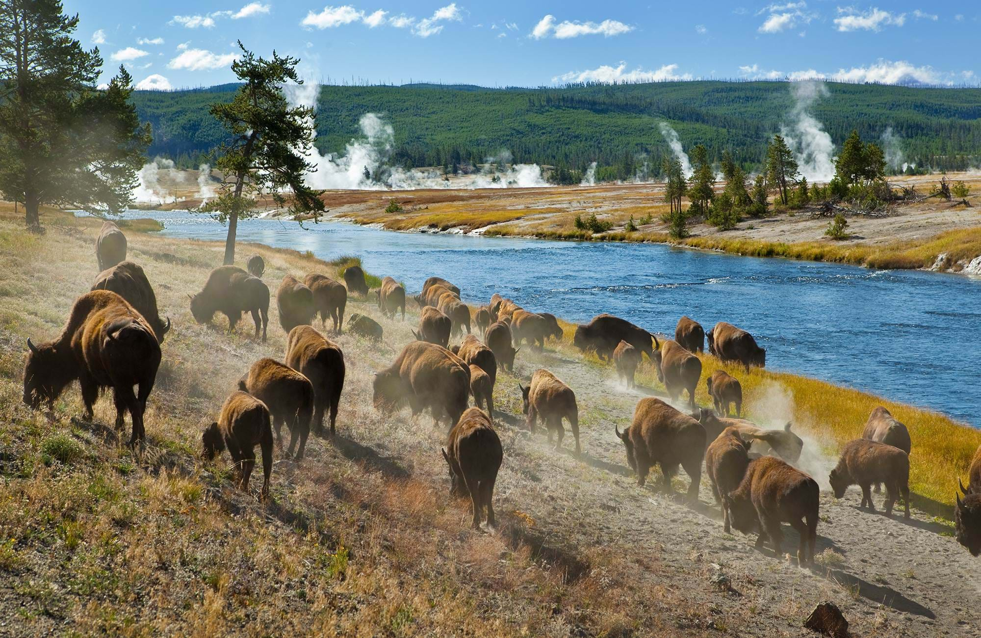 yellowstone-national-park-bison-herd-cover