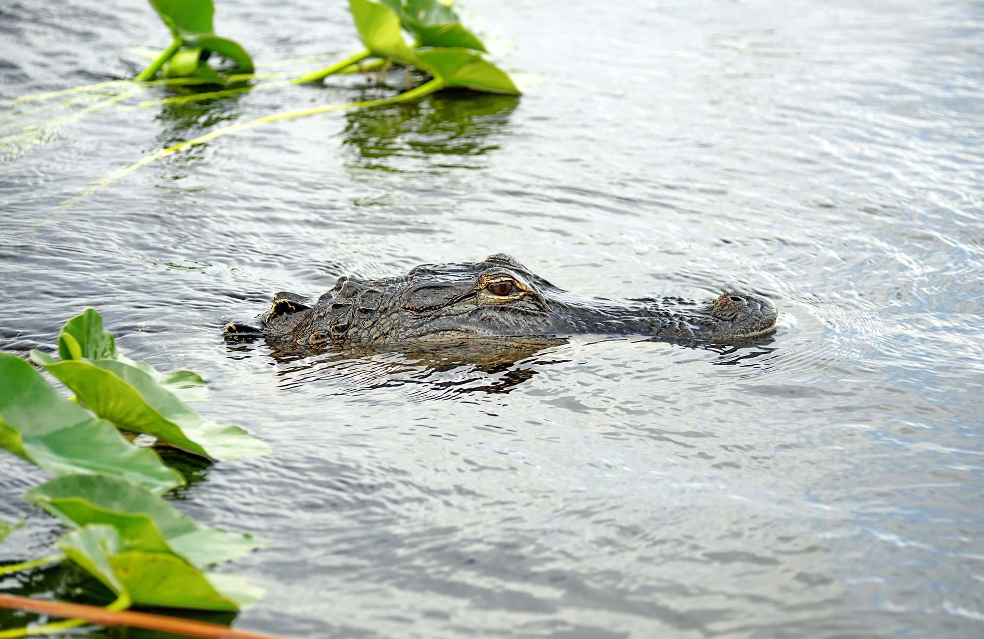 florida-everglades-national-park-alligator-swamp-cover