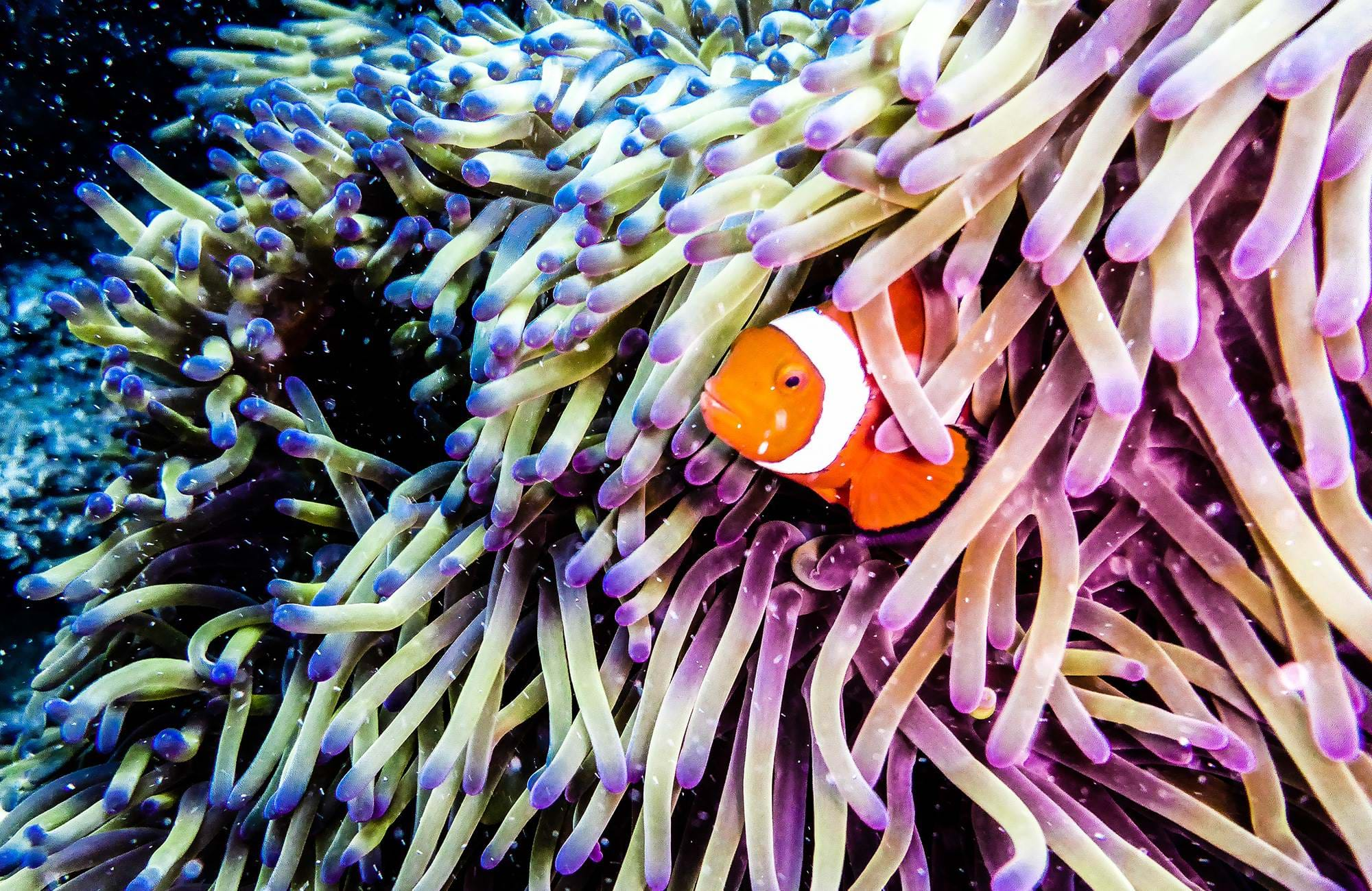 diving-australia-great-barrier-reef-clownfish-peaking-out-of-an-anemone