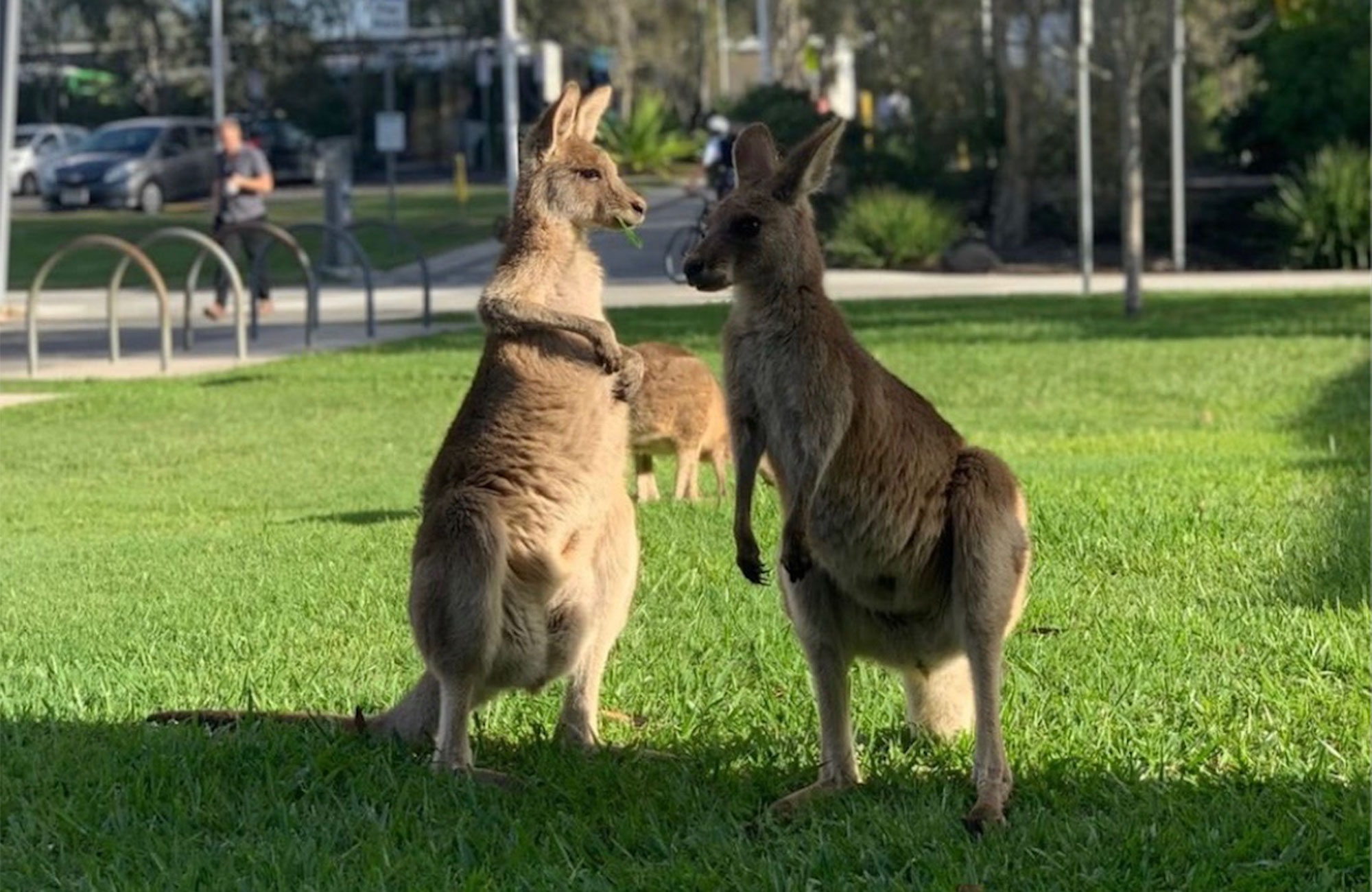 kangaroos on campus at USC in Australia